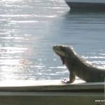 Iguanas on the dock