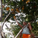 Picking star fruit